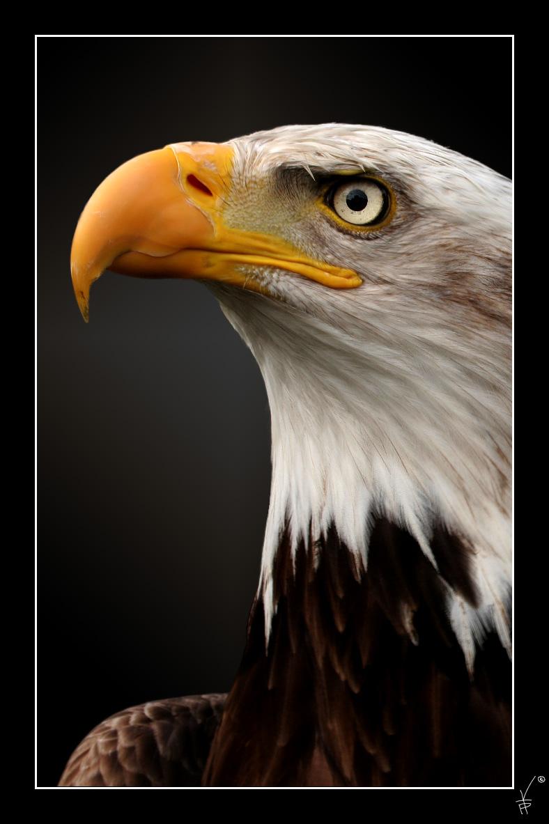 Wei�kopfseeadler