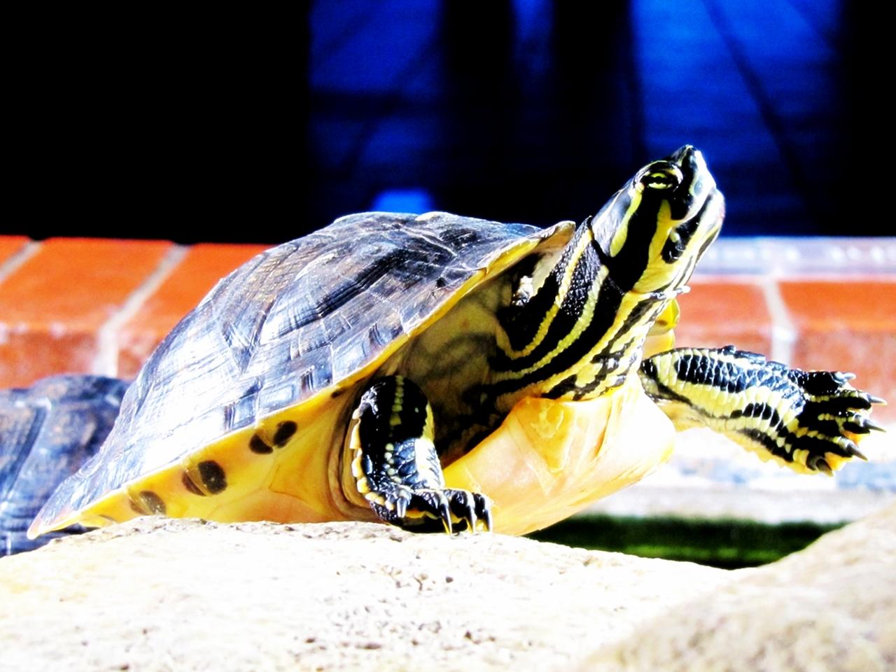 Schnappschildkröte 1