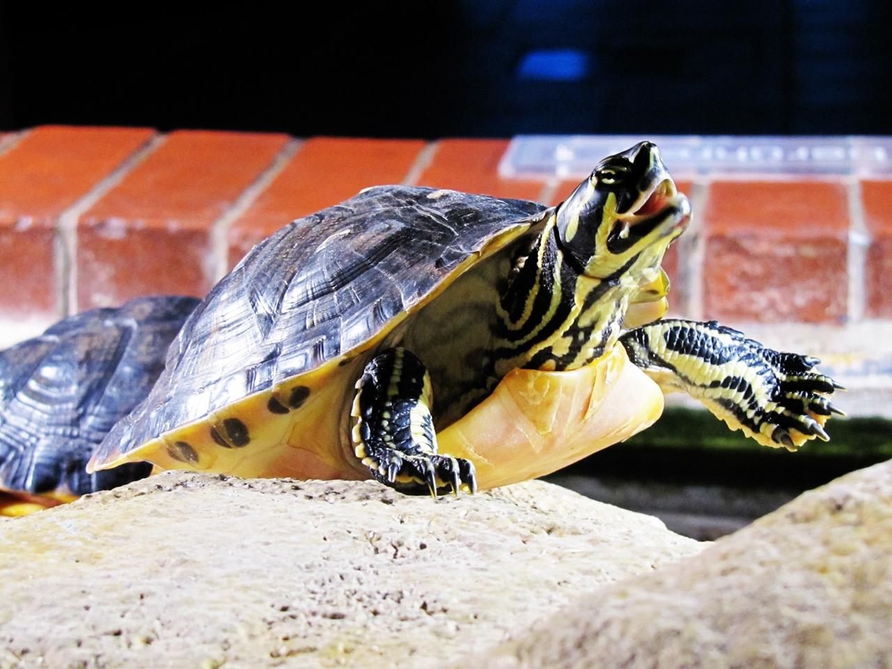Schnappschildkröte 2