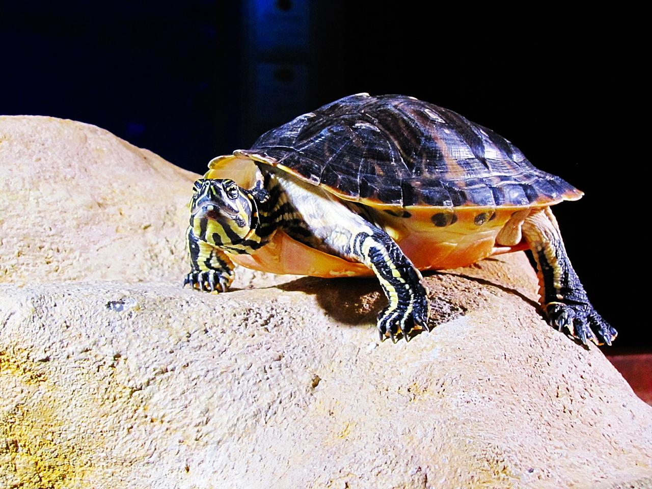 Schnappschildkröte 3