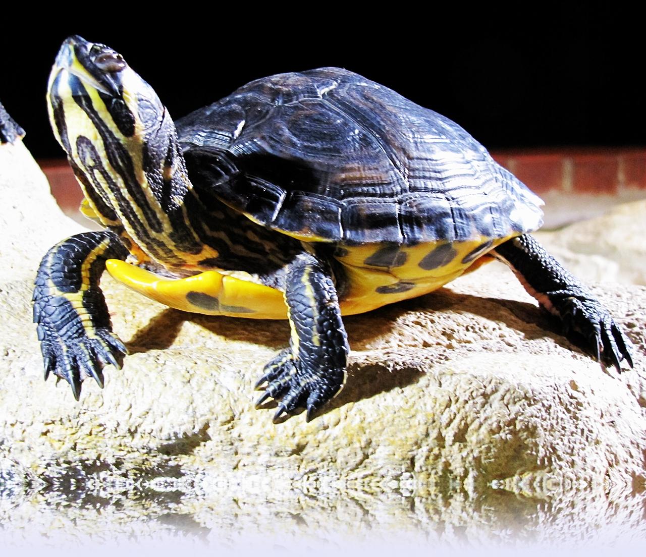 Schnappschildkröte 4