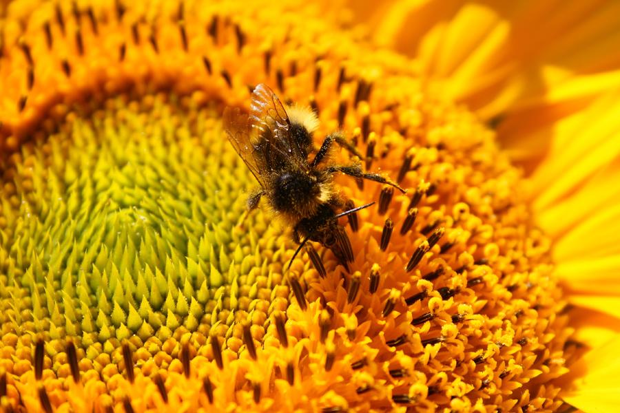 Hummel Auf Sonnenblume :)